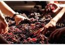 Загуби за нашите винопроизводители