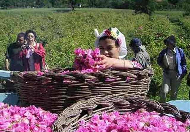Берачи на рози търсят под Балкана