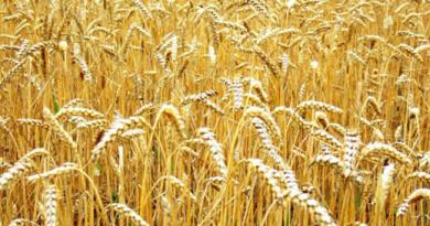 260 лева за тон пшеница в началото на жътвата