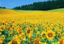 Силни реколти при царевицата и слънчогледа
