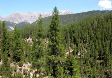 1 млн. хектара иглолистни гори заплашени от изсъхване