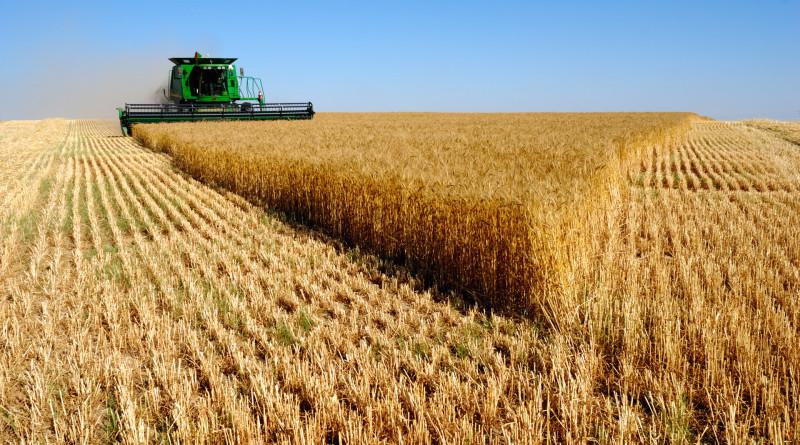 Рекордна добиви пшеница