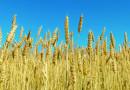 Цените на зърното се сринаха