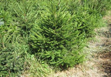 Горските осигуряват 50 000 елхички за Коледа