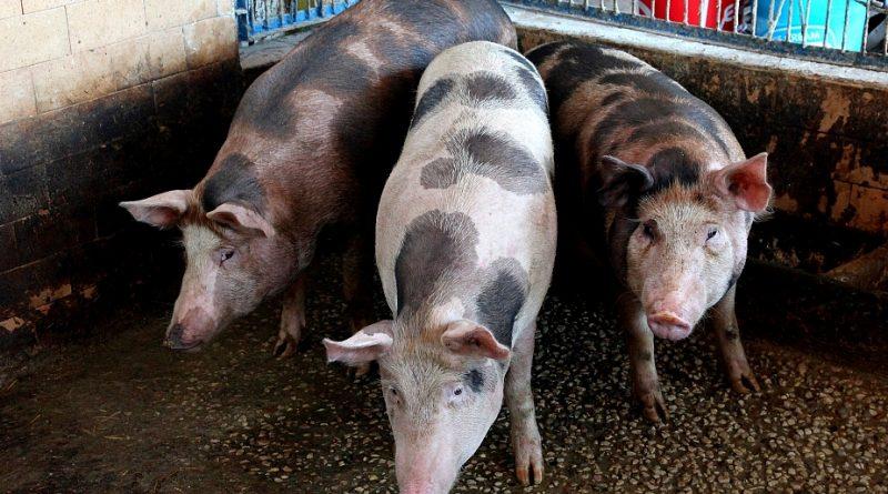 изплащане помощ свине