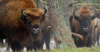 Европейските бизони се завръщат в горите